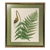 Image of Vintage Botanical Fern Print With Gold Frame For Sale