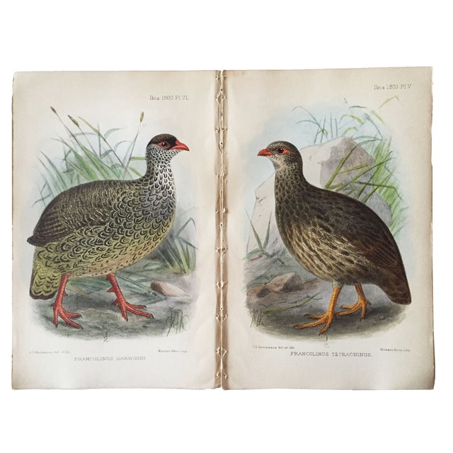Original pair chromolithographs of birds in the Phasianidae family (pheasants/quail/partridges). Published in Isis...