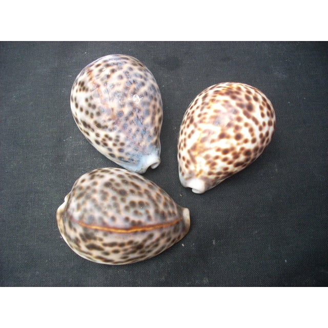 A collection of 3 cowrie shells; makes a great display in home or office.
