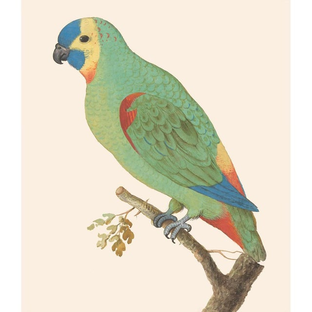 2010s 1590s Large Print of Blue-Fronted Amazon by Anselmus De Boodt For Sale - Image 5 of 7