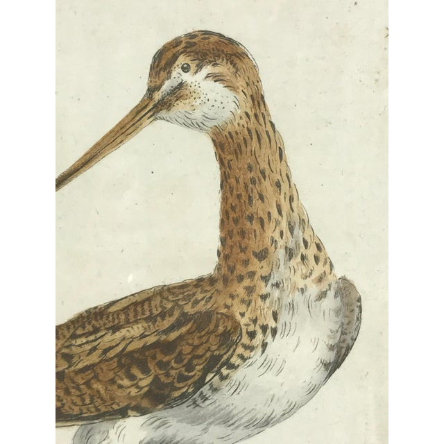 18th Century Snipe Bird Print Hand Colored Engraving by Saverio Manetti For Sale - Image 4 of 5