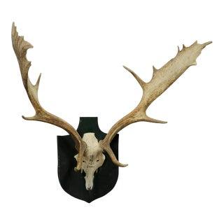 Black Forest Fallow Deer Trophy From Salem - Germany, Bodmann 1977 For Sale