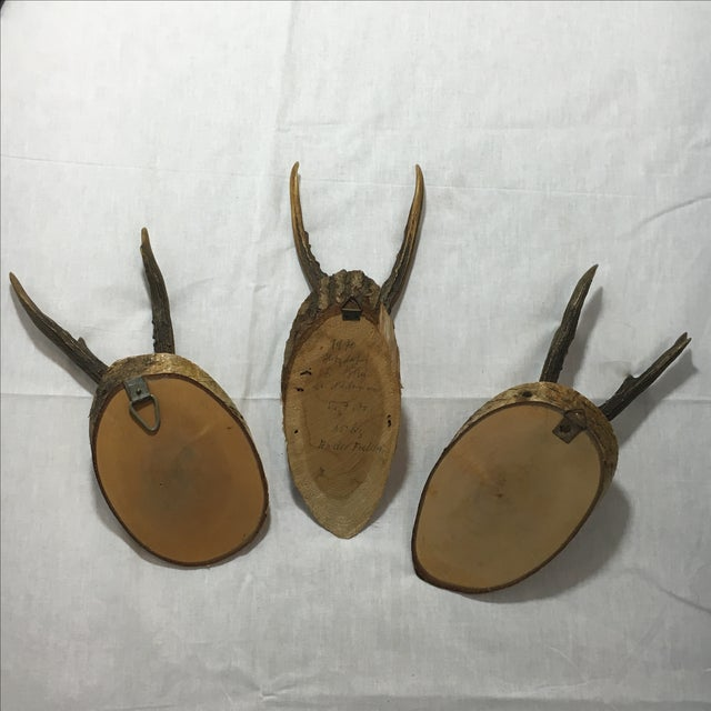 European Roe Deer Trophy Mounts - Set of 3 - Image 6 of 6