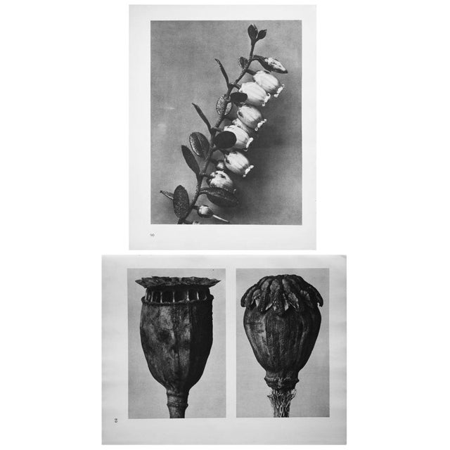 Charcoal 1935 Karl Blossfeldt Photogravure N90-89 For Sale - Image 8 of 8