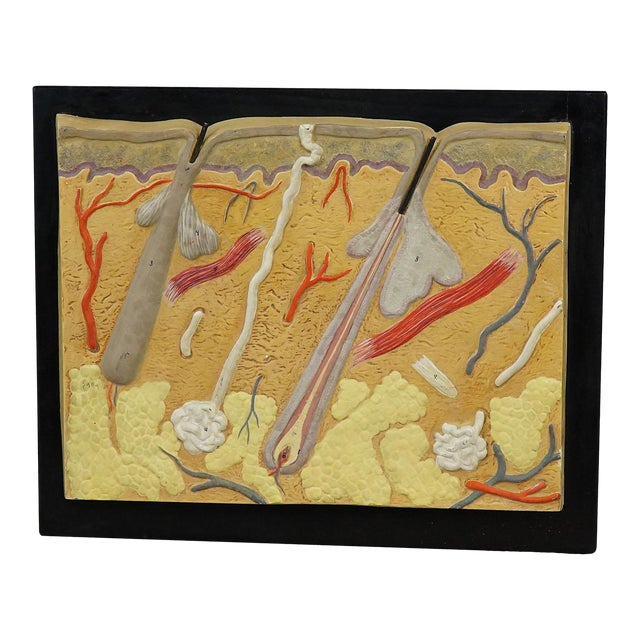 Antique Teaching Aid Human Skin Model On Wooden Plate For Sale
