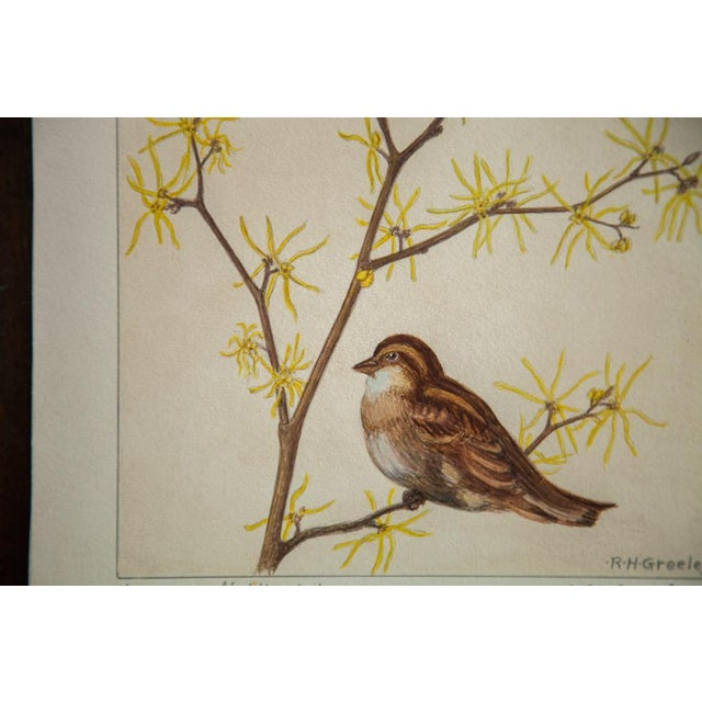 Original watercolor vintage late 1930s to early 1940s illustrating Witch-Hazel (Hamamelis Virginiana). The seller says:...