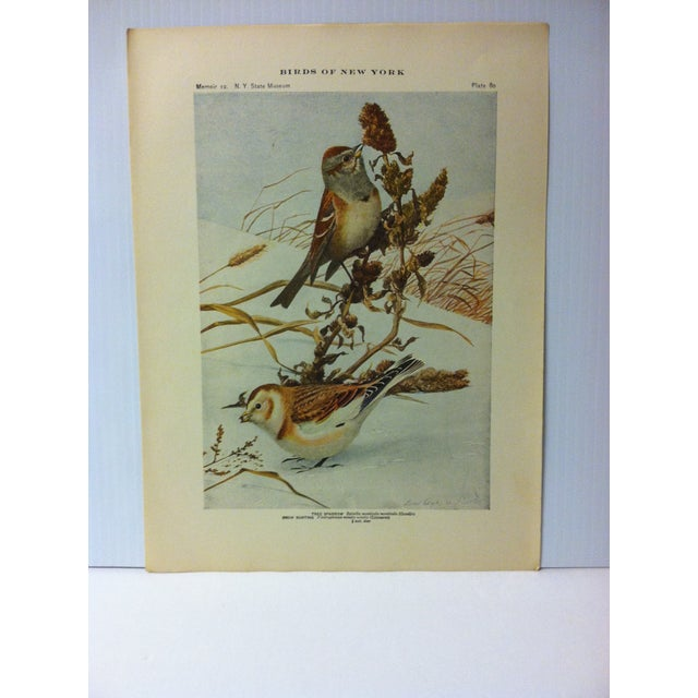 """This is a Real Nice Antique The State of New York Museum Birds of New York Print on Paper that is titled """"Tree Sparrow""""...."""