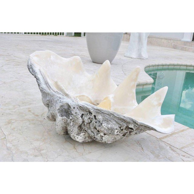 Contemporary Complete Large-Scale Tridacna Gigas Clam Shell, Southern Pacific Ocean Reefs - a pair For Sale - Image 3 of 10