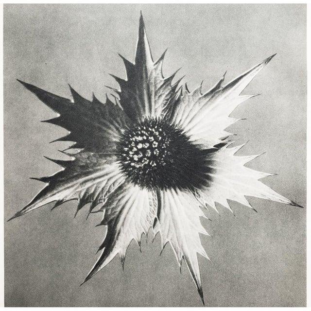 Karl Blossfeldt Double Sided Photogravure N57-58 - Image 6 of 8