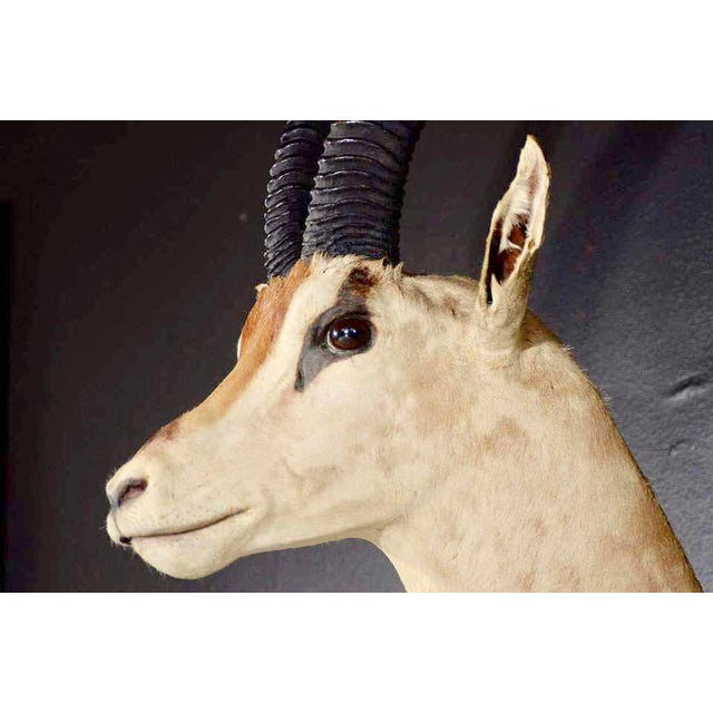 Vintage African Antelope Gazelle Mounted Taxidermy For Sale - Image 9 of 10