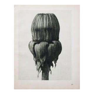 1935 Karl Blossfeldt Photogravure N65-66, 1935