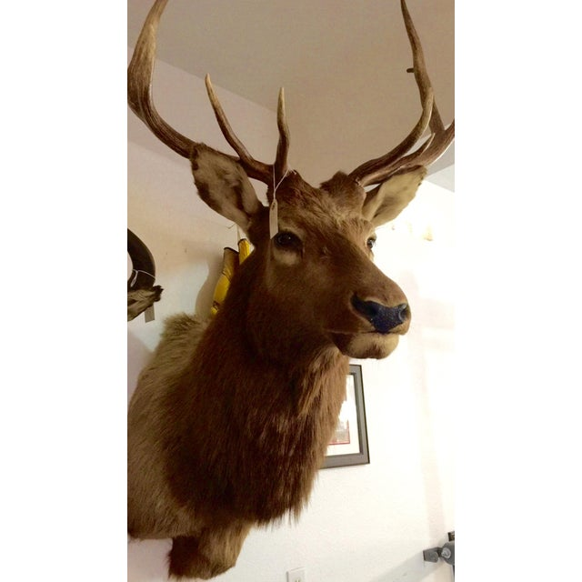 Rocky Mountain Elk Taxidermy Mount - Image 4 of 6
