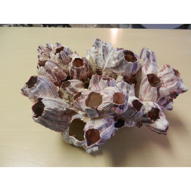 Natural Barnacle Cluster - Image 3 of 4