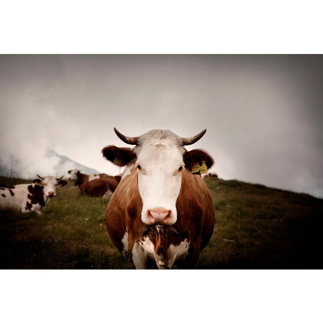 "Contemporary Andrea Buzzichelli ""Cow"" Framed Photo Print For Sale - Image 3 of 3"