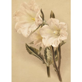 C 1880s French Botanical Chromolithograph- Bell Flower,Matted For Sale