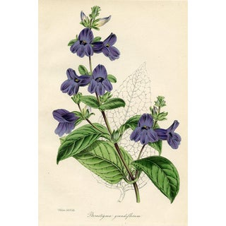 Large-Flowered Wingpoint, 1840s Botanical Print For Sale