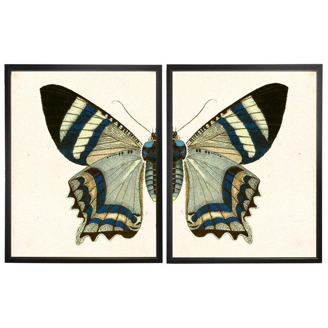 A split white and blue butterfly framed in copper and black shadowboxes. 38x25