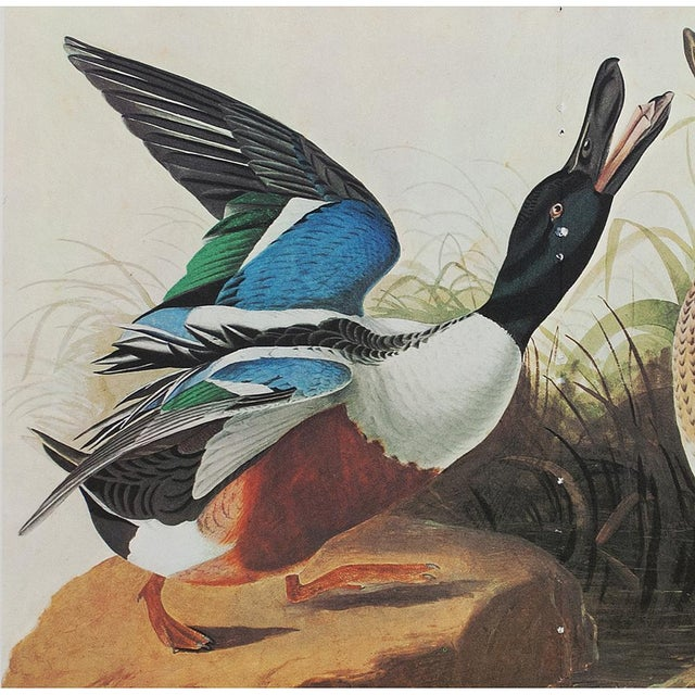 Extra large vintage reproduction of original watercolor painting of Shoveller Duck by John James Audubon from his Birds of...