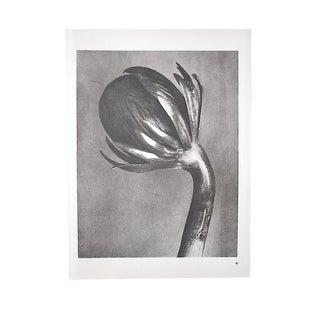 Vintage Modernist Botanical Photogravures by Karl Blossfeldt-Extreme Close-Ups of Flora C.1942-Folio Size