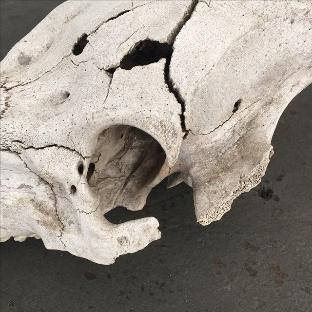 Rustic Pig Skull - Image 4 of 6