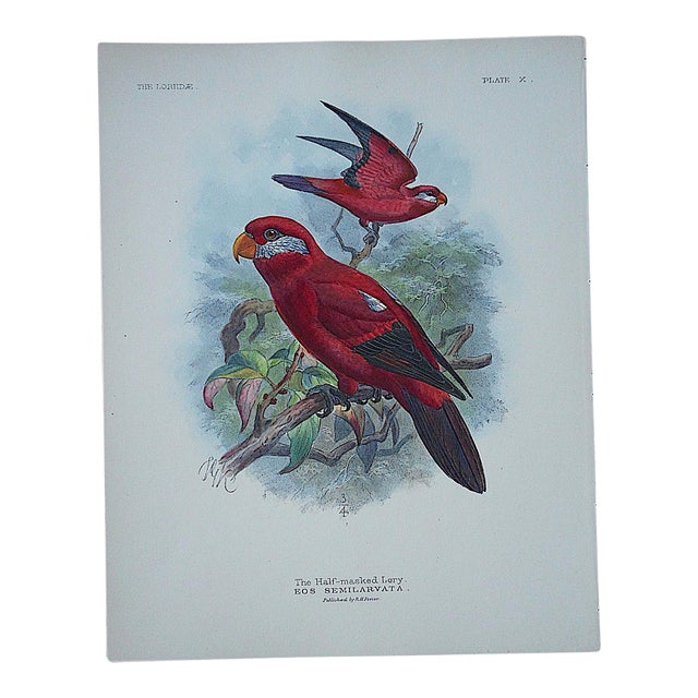 Antique Parrot Lithograph-Hand Colored-The Insular Lori-3/4 Size - Image 1 of 3