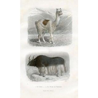19th-C. Llama Print For Sale