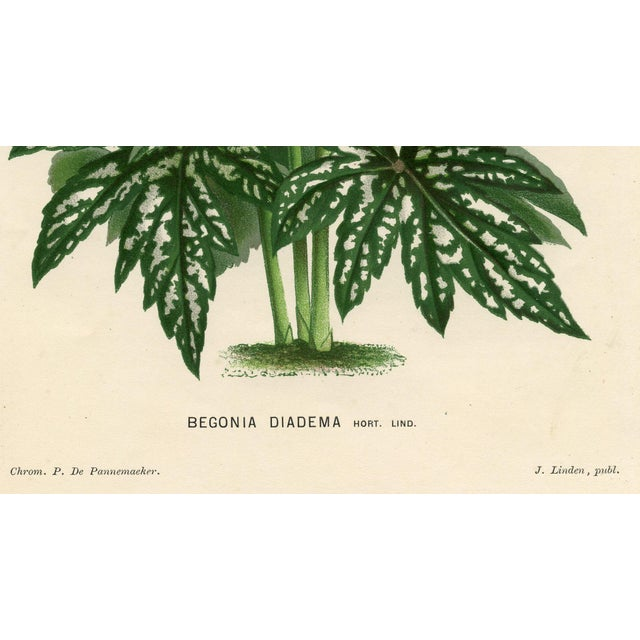 Begonia print by Pieter de Pannemaeker, a noted 19th-century Belgium artist and lithographer. Shown is the Rex-like...