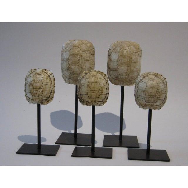 Mounted Resin Turtle Shells - Set of 5 - Image 2 of 5
