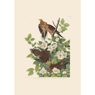 John James Audubon Print, Carolina Turtle Dove For Sale