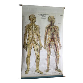 1940s Vintage Nystrom Pull Down Biology Chart For Sale