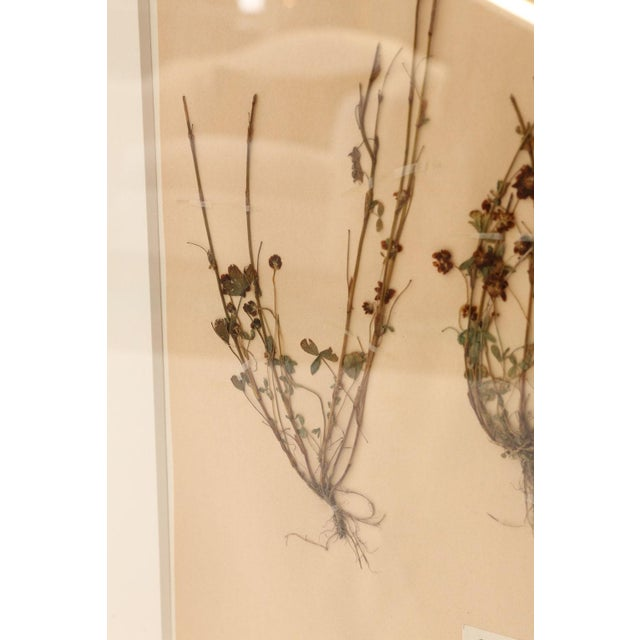 Framed Set of Four Herbaria For Sale In Houston - Image 6 of 13