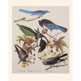 Ultramarine Jay, Stellers Jay, Yellow Billed Magpie, and Clark's Crow by Audubon, 1966 Vintage Print For Sale