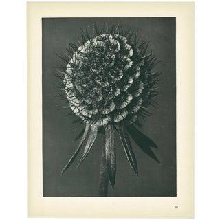 1928 Phacelia Tanacetifolia, Original Period Photogravure N91 Karl Blossfeldt For Sale