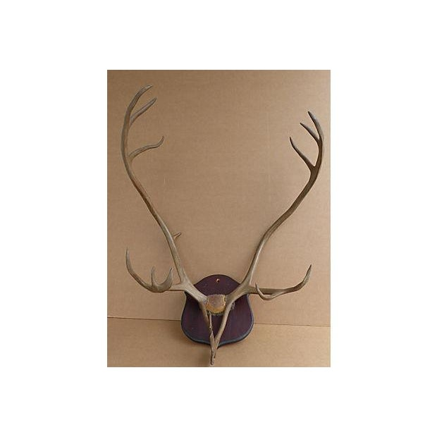Wall Mounted Taxidermy Elk Antlers - Image 2 of 8