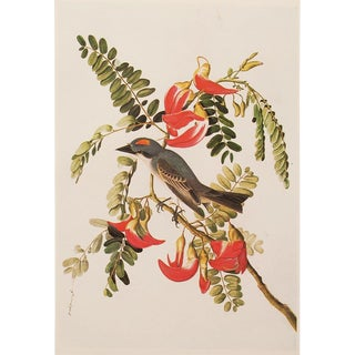 1966 Large Lithograph of Gray Kingbird by Aubudon For Sale