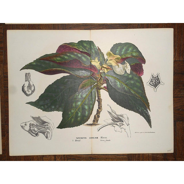 """Antique Botanical Lithographs-Flowers-Set of 4-Apprx. 10""""x13"""" For Sale - Image 4 of 5"""