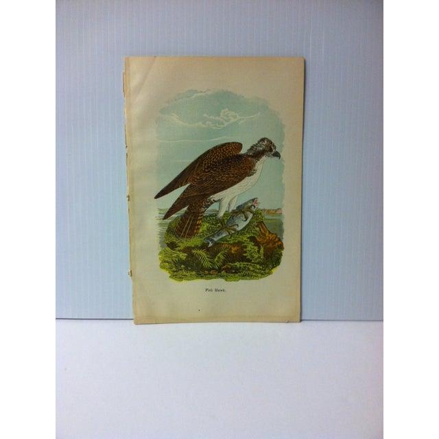 "Vintage Birds of Water Color Print, ""Fish Hawk"", Circa 1930 For Sale - Image 4 of 4"
