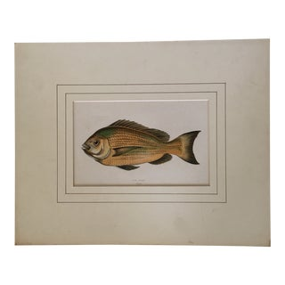 """1864 Engraved & Matted """"Old Wife"""" Fish Print For Sale"""