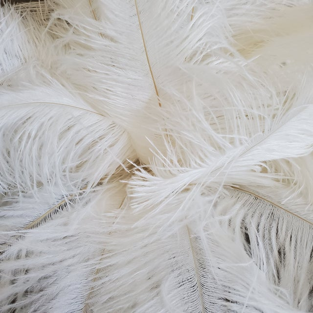 Naturally Shed White Ostrich Feathers, 25 Piece For Sale - Image 4 of 7