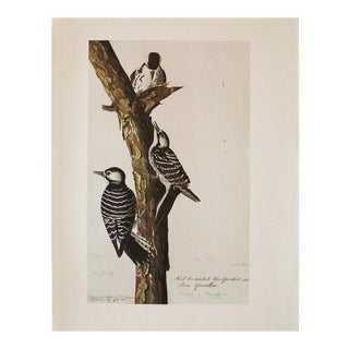 1966 Vintage Cottage Print of Red-Cockaded Woodpecker by Audubon For Sale