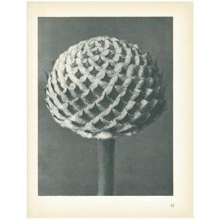 1928 Cephalaria by Karl Blossfeldt, Original Period Photogravure N77 For Sale