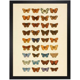 "Multi Butterflies Papilio Plate 2 - 30"" X 38"" For Sale"