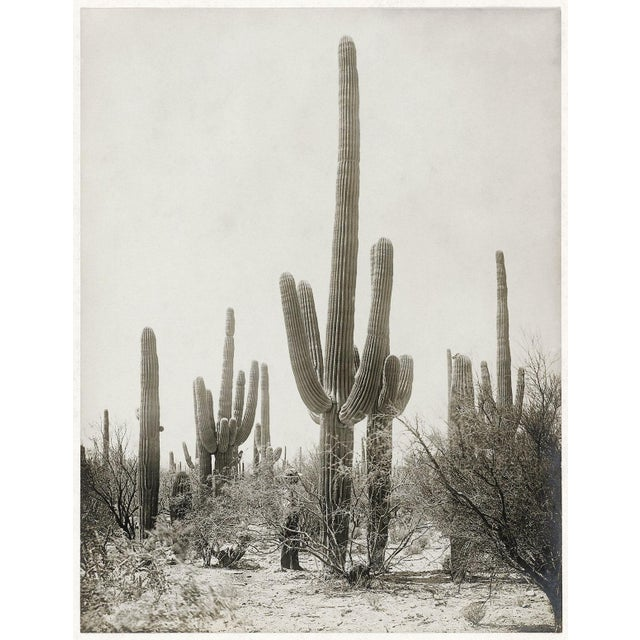 Vintage Cactus Photo - 1900s Tuscon - Vintage Desert Print For Sale - Image 4 of 4