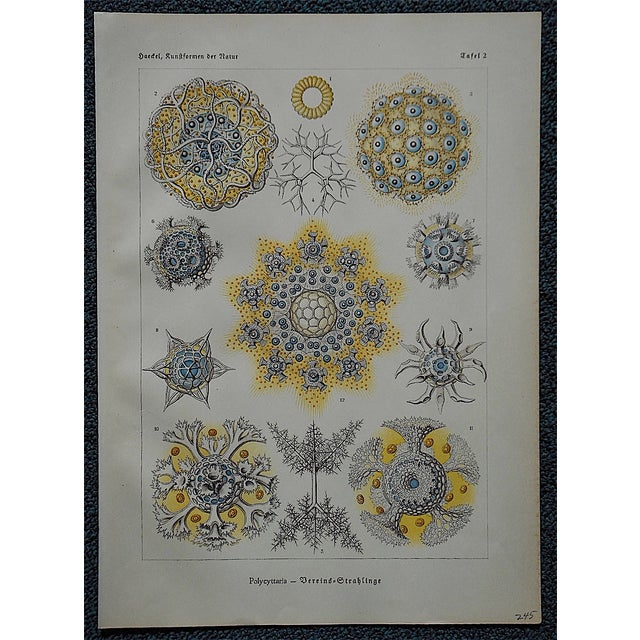 Sea Creatures Lithograph by Ernst Haeckel - Image 2 of 3