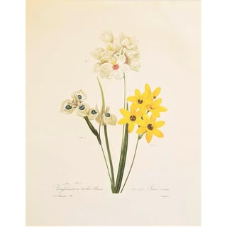 Pierre-Joseph Redouté Reproduction Yellow and White Taxia Botanical Print For Sale