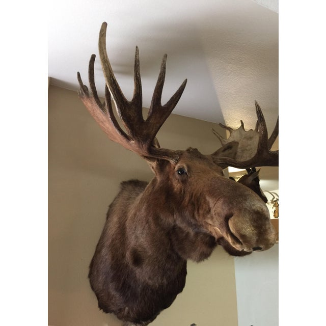 Alaskan Moose Taxidermy Shoulder Mount - Image 5 of 5