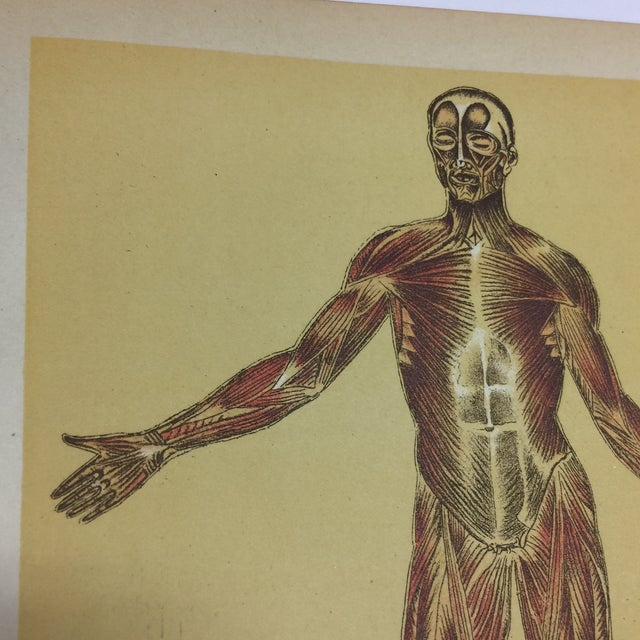 1920s Antique Muscular System Medical Lithograph Print For Sale - Image 4 of 6