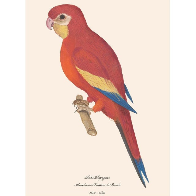 1590s Large Print of Red Parrot by Anselmus De Boodt For Sale - Image 4 of 7