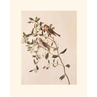 1966 Vintage Cottage Print of Lesser Redpoll & Common Redpoll by John James Audubon For Sale