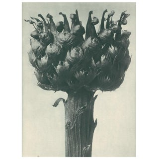 1928 Contemporary Original Photogravure by Karl Blossfeldt - N112 For Sale